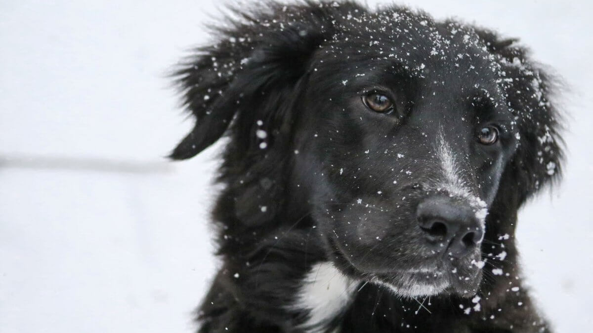 black dog in winter